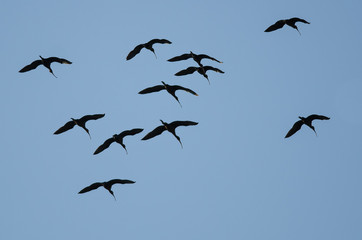 Fototapete - Flock of White-faced Ibis Flying in a Blue Sky