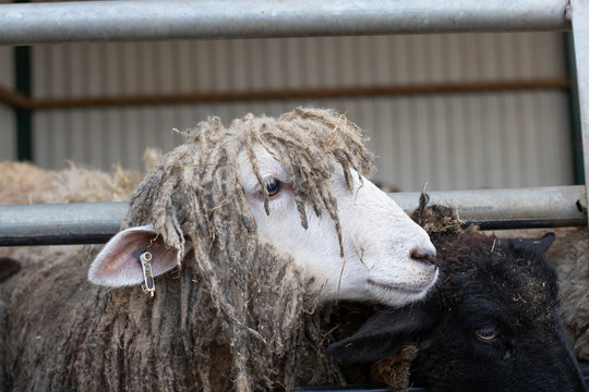 lincolnshire sheep