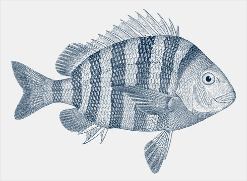 Young sheepshead, archosargus probatocephalus, a fish from the Western Atlantic Ocean in side view