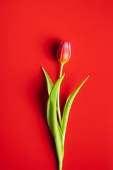 Zelfklevend Fotobehang Tulp Spring flower tulip