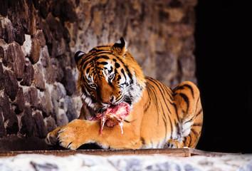 Wall Mural - Beautiful Amur tiger eating piece of meat. Dangerous wild animal