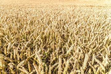 Grain field in detail