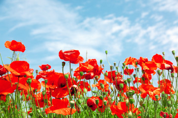 Foto auf Acrylglas Mohn Red poppy flowers on sunny blue sky, poppies spring blossom, green meadow with flowers