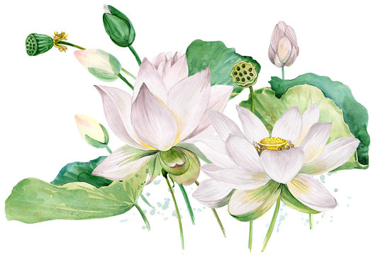 white lotus watercolor botanical illustration.