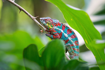 Panther Chameleon - Furcifer pardalis, Madagascar. Beautiful lizard from Madagascar rainforest, Endemic colorful. Wall mural