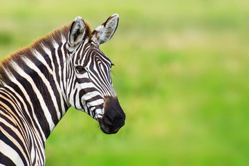 Photo sur Plexiglas Zebra Closeup zebra head against green blurred background