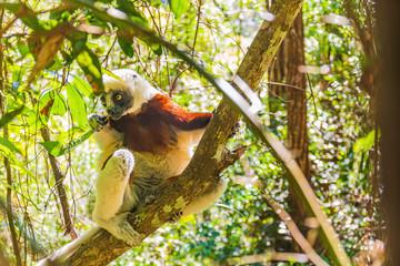 Coquerel's sifaka (Propithecus coquereli) lemur sitting in the trees