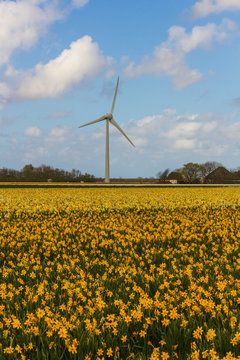 Wind power plant on a blooming daffodil field somewhere in Holland - a renewable energy source