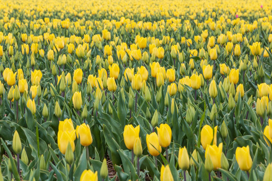 Yellow tulips flowers blooming on a field in Netherlands