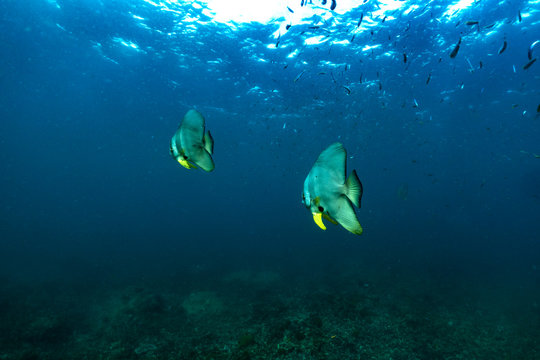 underwater scene with bat fish and coral reef ; Sea in Surin Islands; Phang Nga Province; southern of Thailand.