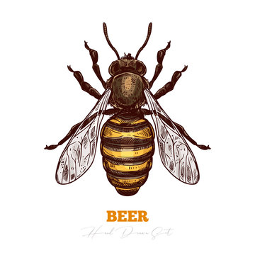 Hand darwn vector of honey bee isolated on white. Sketch color engraving illustration of insect. Engraving illustration for beekeeping and apiculture farm