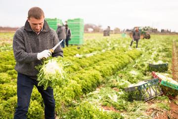 Workman cutting frisee lettuce on farm field Fototapete