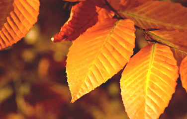Closeup view of golden yellow fall leaves