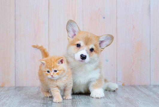 Scottish kitten and puppy Corgi sitting on the floor
