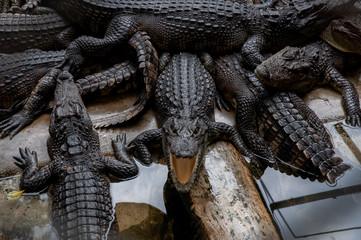 Poster Crocodile thailand wild green crocodile farm