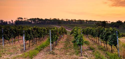 Beautiful panoramic view of the vineyard at sunset