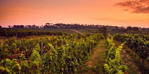 Beautiful panoramic view of the vineyard at sunrise