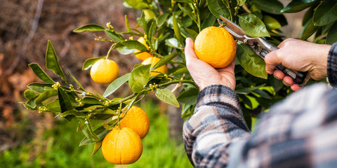 Close-up of the hands of the farmer who harvest the oranges in the citrus grove with scissors. Traditional agriculture.