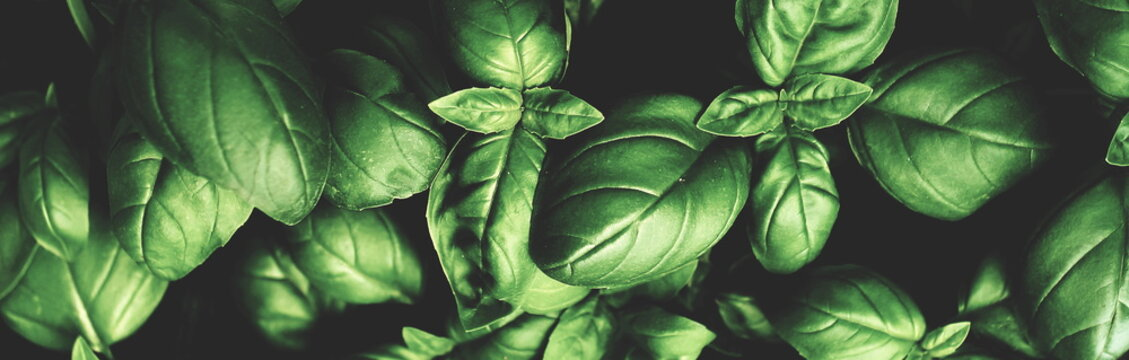 Fresh green basil leaves pattern texture full frame toned background banner. Poster