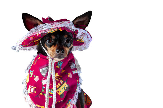 Pinscher, dog dressed as an old lady, pink costume, wearing a hat, for Brazilian carnival. White background. Hat with lace, to hang out in the carnival block. Horizontal. Space for your text.