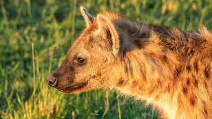 Photo sur Aluminium Hyène Hyène - Masaï Mara Kenya