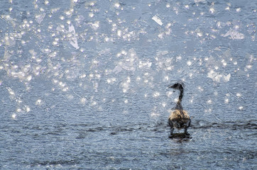 Wall Mural - Impressionistic Style Artwork of a Canada Goose Silhouetted by Sun Sparkled Water