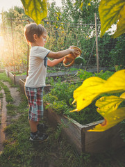 Toned image of little toddler boy helping in garden and watering vegetables from plastic can