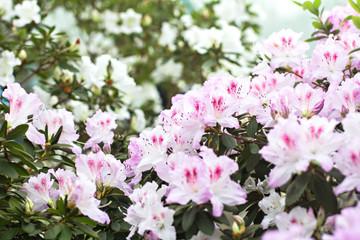 Tuinposter Azalea bush with pink blooming azalea