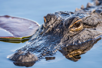 Everglades, Florida, USA, March 2019: Alligator floating in aquatic plants Wall mural