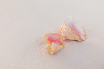 Conch shells on pink sand beach in Bahamas