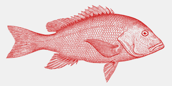 Northern red snapper, lutjanus campechanus, a threatened fish from the Atlantic Ocean in side view