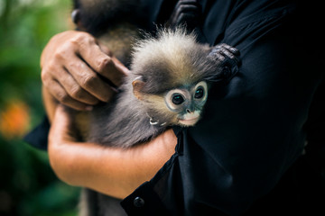 Close up of woman holding two young Macaque monkeys. ,Koh Samui