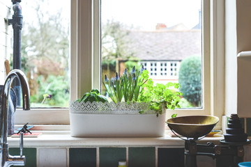Window box with herb garden and spring bulbs growing in a home kitchen interior