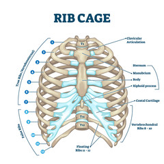Rib cage anatomy, labeled vector illustration diagram