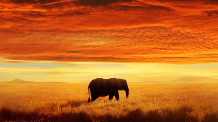 Wall Mural - Lonely Elephant against sunset and beautiful  clouds in savannah.  Serengeti National Park. Africa. Tanzania.