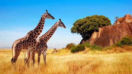 Printed kitchen splashbacks Giraffe Giraffes in the African savannah. Serengeti National Park. Africa. Tanzania.