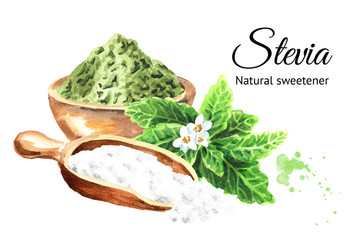 Stevia rebaudiana plant, Natural sweetener, and bowl with dry shredded stevia and scoop with powder. Hand drawn watercolor illustration,  isolated on white background