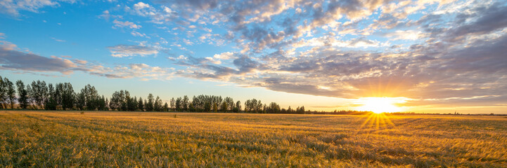 Wheat field illuminated by the rays of the setting sun. Agriculture landscape. Beautiful sunset landscape. Panoramic banner.