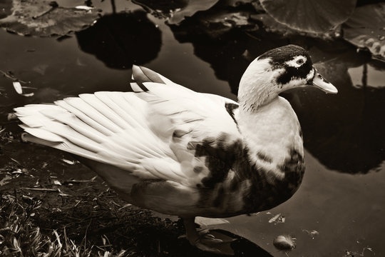 Beautiful duck on a pond