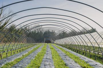Serre de fraises à planter