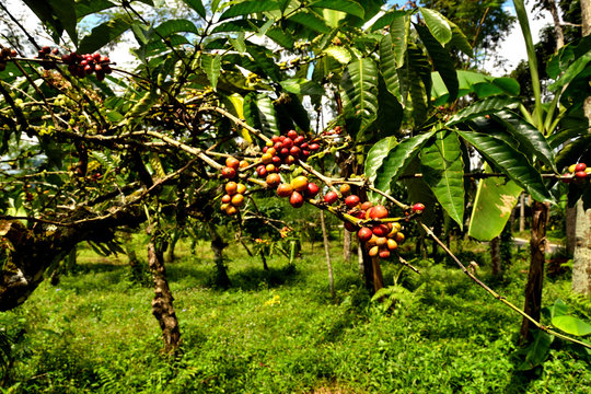 Close up of a coffee plant inside a large plantation