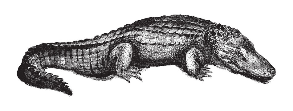American alligator (Alligator mississippiensis) / vintage illustration from Brockhaus Konversations-Lexikon 1908