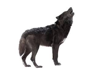 Aluminium Prints Wolf Howling wolf winter isolated on a white background.