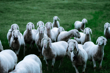 Herd of sheep looking into the camera