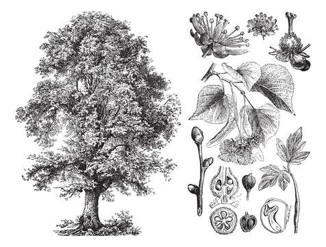 Small-leaved lime or Littleleaf linden (Tilia cordata) / vintage illustration from Brockhaus Konversations-Lexikon 1908