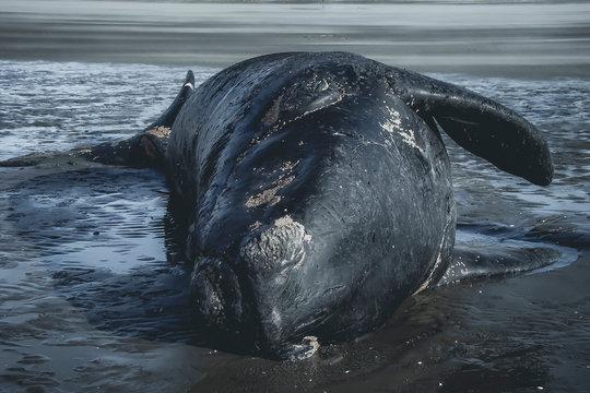 Dead whale in the beach