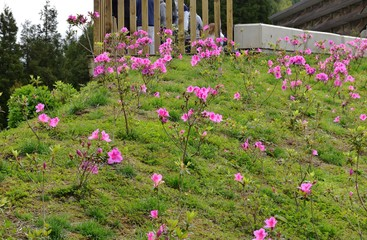 Pink Rhododendeon on a grass slope