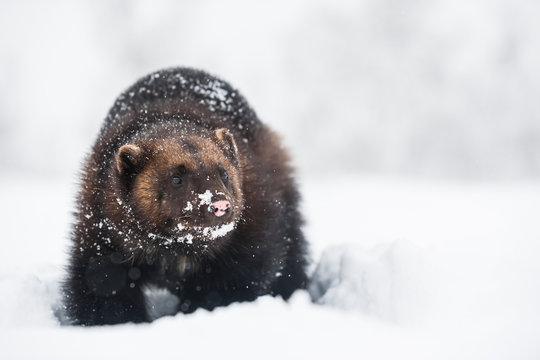 Norway, Bardu, snow-covered wolverine