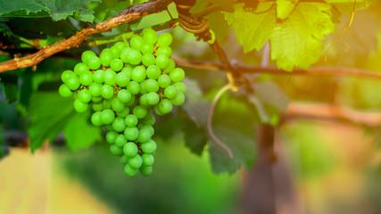 Fototapete - Fresh green grapes at vineyards.