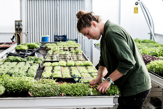Young woman cutting vegetable plants in greenhouse